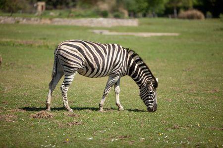 Zebra Reklamní fotografie