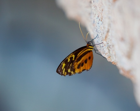 Yellow tiger longwing (Heliconius ismenius) perched on rock Imagens