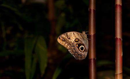 A Tawny Owl Butterfly (Caligo Memnon) resting on bamboo stem