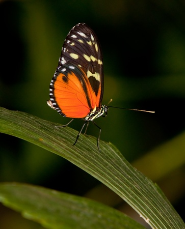 A Yellow Tiger Longwing (Heliconius Ismenius) perching on a leaf Imagens