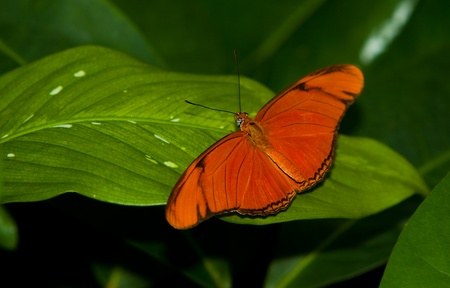 A Julia Longwing Butterfly (Dryas Iulia) perching on a leaf Stock Photo - 13126639