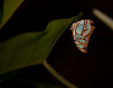 A Blue Wave Butterfly (Mycelia Cyaniris) on the underside of a leaf Imagens