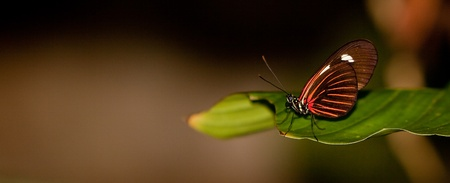 A Red Postman Butterfly (Heliconius Erato Lativitta) perching on a leaf Imagens