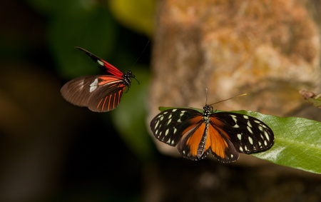 A Yellow Tiger Longwing (Heliconius Ismenius) perching on a leaf and a Red Postman (Heliconius Erato Lativitta) flying nearby
