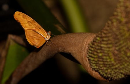 A Julia Longwing Butterfly (Dryas Iulia) perching on a plant stem