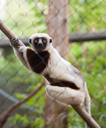 Lemur Imagens
