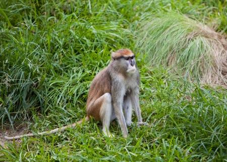 Patas monkey sitting on grass Stock Photo