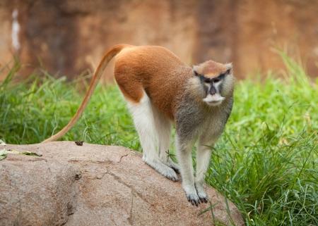 Patas monkey standing on rock Imagens