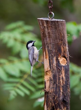 Chickadee feeding from hanging log