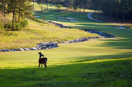 Deer on golf course Imagens