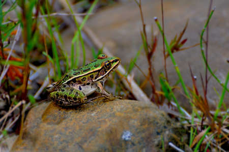 A green frog perched on a rock photo