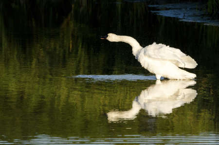 A swan shaking off water while standing in a shollow area. Imagens