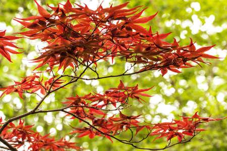 A crimson japanese maple tree against green.