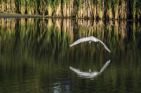 arching: An white egret arching its wings over calm water  Stock Photo