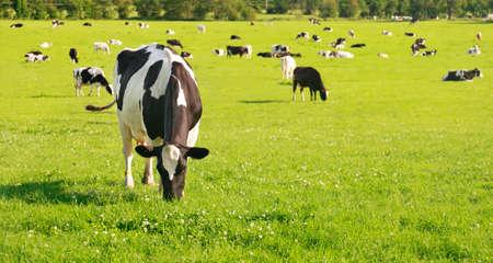 grazing land: Beautiful and idyllic green grass with cattle happily grazing. Stock Photo