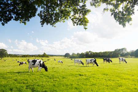 rancho: Hierba verde hermoso e idílico con ganado pastando alegremente.