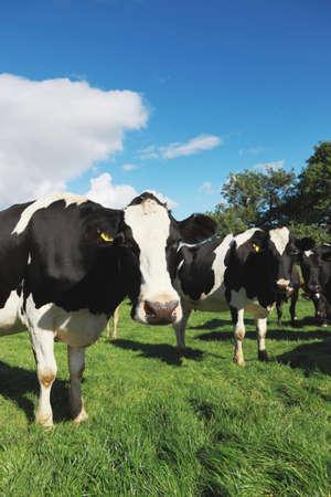 holstein: Cows in an idyllic green field.