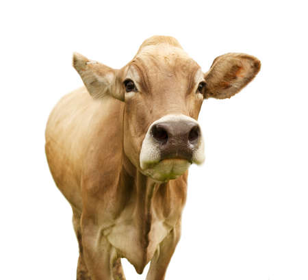 calf cow: Cow isolated on white looking into camera Stock Photo