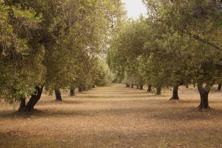 arboleda: Olive Grove Foto de archivo