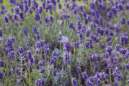 Blue Butterfly Amidst the Lavender photo
