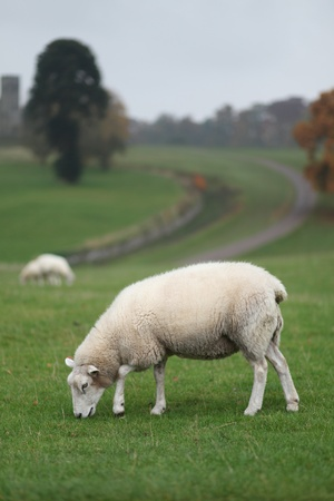 abbey: Sheep Grazing in the Grounds of Calke Abbey