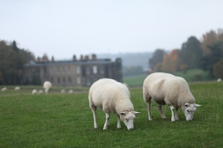 woolley: Sheep Grazing with Calke Abbey in the Background Stock Photo