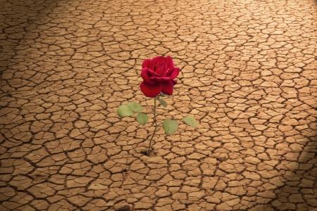 plantas del desierto: Red Rose Creciendo en la tierra agrietada