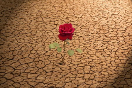 survival: Red Rose Growing in Cracked Earth