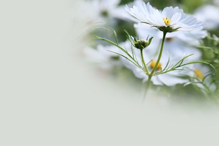 White Cosmos Flower Background with Copy Space photo