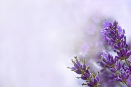 homeopathic: Lavender with Copy Space