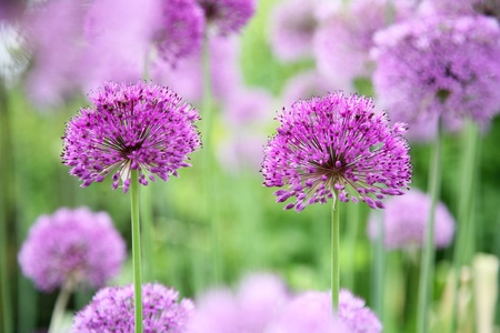 Allium in Full Bloom Stock Photo