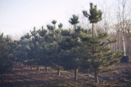 Fir Trees Growing in a Row photo