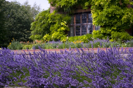 라벤더 정원에서 성장 스톡 콘텐츠 - 18227579