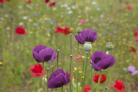 seedpod: Poppies   Wild Flowers Stock Photo