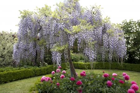 english garden: Wisteria Tree