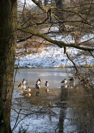 Ducks on a Frozen Lake photo