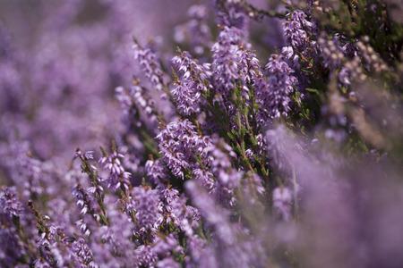 flores moradas: Heather púrpura primer plano Foto de archivo