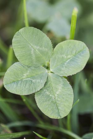 four leaf: Lucky four leaf clover