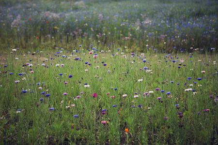 campo de flores: Campo de flores silvestres