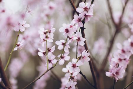 핑크 봄 꽃 나무