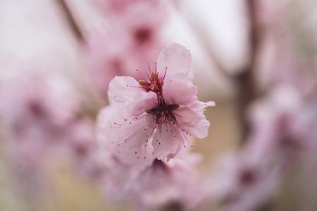 핑크 봄 꽃 가까이