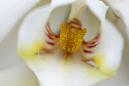 White orchid with gold spotted stamen Stock Photo