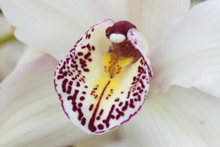 흰 난초에 붉은 색의 오징어가있다.