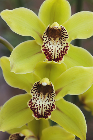 yellow stamens: Green Orchid with deep red spotted stamen Stock Photo