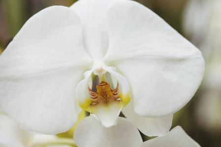 흰 난초와 골드 오시 스톡 콘텐츠