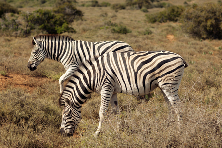 Pair of Zebra in their Natural Environment