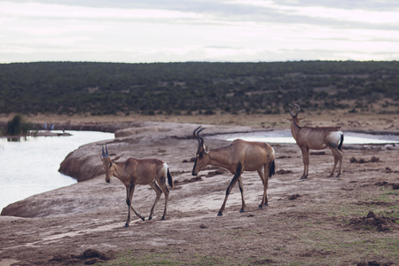 Antelope by a waterhole