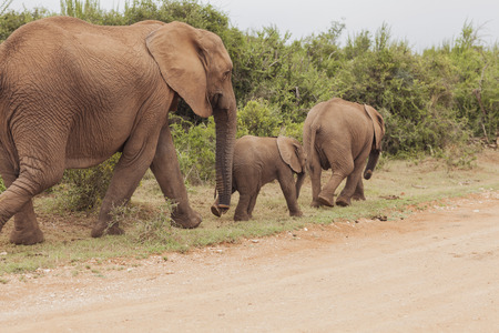 African Elephant with Young
