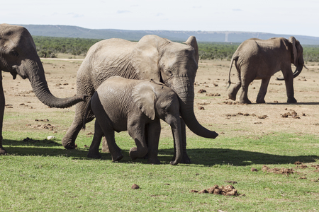 Herd of African Elephants in Natural Environment