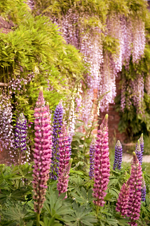 Lupins growing in an herbaceous border Stock Photo